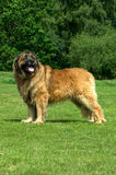 Leonberger. A portrait of a Leonberger in a field Royalty Free Stock Photography