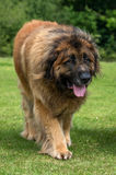 Leonberger. A portrait of a Leonberger in a field Stock Photos