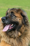 Leonberger Stock Images