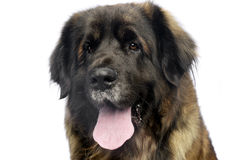 Leonberger portrait with a white background in studio. Leonberger portrait with white background in studio Royalty Free Stock Photo