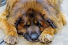leonberger psi patrzeć w kamerę z bliska obrazy royalty free