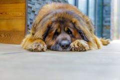 leonberger psi patrzeć w kamerę z bliska obraz stock