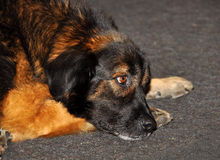Leonberger puppy dog Stock Image
