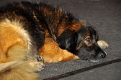 Leonberger puppy dog. Sleeping dog on a gray background. The Leonberger is a giant dog breed. The breed's name derives from the city of Leonberg in Baden-Wü Stock Photography