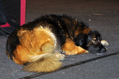 Leonberger puppy dog. Sleeping dog on a gray background. The Leonberger is a giant dog breed. The breed's name derives from the city of Leonberg in Baden-Wü Stock Image