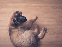 Leonberger puppy on the floor Stock Images