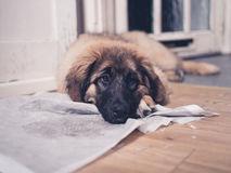 Leonberger puppy with head on dirty training pad Royalty Free Stock Image