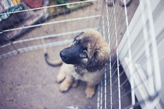 Leonberger puppy in kennel outside Royalty Free Stock Image