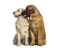 Leonberger puppy, 4 months old, and Labrador Retriever dog. 1 year old, sitting against white background Royalty Free Stock Photography