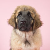 Leonberger puppy on pink Stock Photo