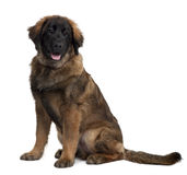 Leonberger puppy, sitting and panting Stock Image