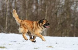 Leonberger running Stock Photo