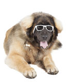 Leonberger Royalty Free Stock Image