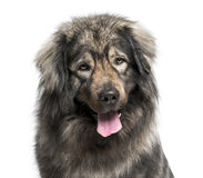 Leonberger (2 years old) Stock Photos