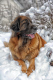 Leonberger Stock Photography