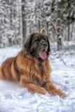 Leonberger Royalty Free Stock Photo