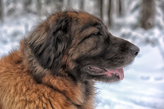 Leonberger Royalty Free Stock Photos