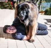 Leonbergerhond en de meester Stock Foto's