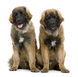 Leonbergers sitting side by side. Against white background Royalty Free Stock Photos