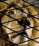 Leone (4 e una metà di anni) - Panthera leo fotografia stock