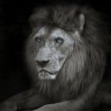 Leone Fotografie Stock