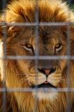 Leone Fotografie Stock Libere da Diritti