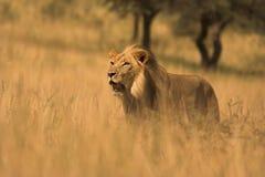 Leone africano immagini stock libere da diritti