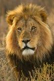 Leone africano immagine stock libera da diritti
