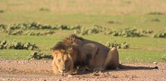 Leone africano fotografia stock libera da diritti