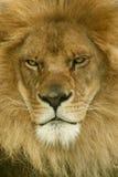 Leone africano Fotografie Stock