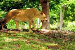Leone africano che cammina sul vagare in cerca di preda Immagine Stock