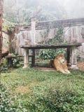 Leone africano che riposa sotto la tavola della roccia Fotografie Stock Libere da Diritti
