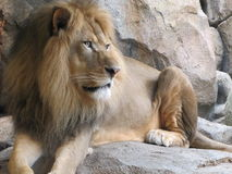 Leone africano che riposa sulla roccia Immagine Stock