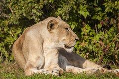 Leone africano che si trova sull'erba Fotografia Stock