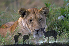 Leone africano con antilope Fotografie Stock