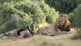 Leone africano con la preda stock footage
