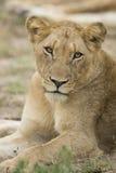 Leone africano femminile (panthera Leo) Sudafrica Fotografia Stock