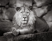 Leone africano II Immagine Stock