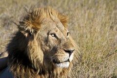 Leone africano maschio Immagini Stock Libere da Diritti