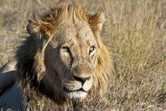 Leone africano maschio Immagini Stock