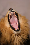 Leone africano maschio di sbadiglio Immagini Stock Libere da Diritti