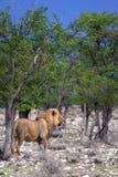 Leone africano maschio selvaggio namibia   Immagini Stock
