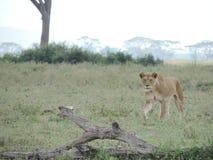 Leone africano nel parco nazionale di Serengeti, Tanzania fotografia stock