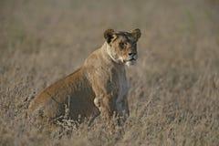 Leone africano, panthera Leo Fotografia Stock Libera da Diritti