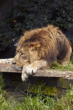 Leone africano (panthera Leo). Immagine Stock Libera da Diritti