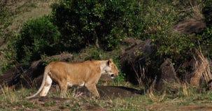 Leone africano, panthera Leo, camminata femminile attraverso Bush, masai Mara Park nel Kenya, archivi video