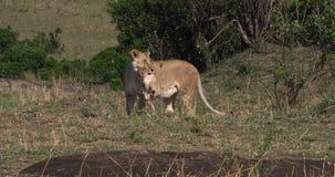 Leone africano, panthera Leo, cucciolo di trasporto nella sua bocca, masai Mara Park della madre nel Kenya, stock footage