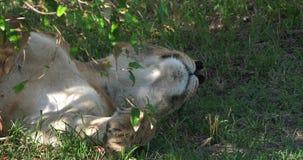 Leone africano, panthera Leo, sonno femminile, masai Mara Park nel Kenya, stock footage