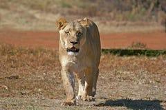 Leone africano selvaggio Fotografia Stock