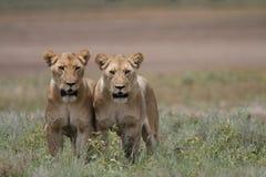 Leone africano vagante selvaggio libero Fotografia Stock